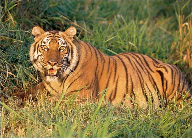 African Tigers Were First Put On The Endangered Specie List In The 1960s But Trophy Hunting And Fur Trade Has Continued Despite The Heightened Risk Of Extinction Huntercoursecom 10 Animals Hunted or Nearly Hunted To Extinction Hunter Safety