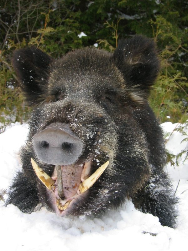 Wild Boar Attacks Human The World's Most Dan...
